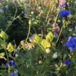 Asukkaille iloa ja pörriäisille ruokaa – Pikkolan maisemapelto kukkii nyt kauniisti