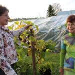 Pimeen kaupan illassa säpinää, sääkin suosi – viinitarhalla ihastuttiin lajikkeiden runsaudesta