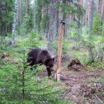 Vuoden varrelta, Laitikkala: Laitikkalassa on tehty useita havaintoja alueella liikkuvasta karhusta – kyseessä on parivuotias yksilö