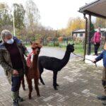 Alpakat vierailivat Kukkiakodolla – asukkaat pääsivät ihailemaan ja silittelemään pörröisiä vieraita