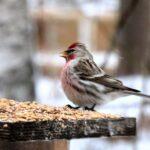 Talvinen pitkä yö – pitkät pakkaskaudet verottavat aina etenkin pienempiä lajeja