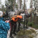 Lukijan kuva: Hakkuissa Percheron-hevonen on yliveto