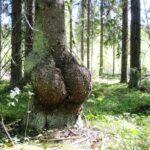 Nuijapäitä ja missejä – säilytetään erikoiset puut