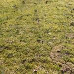 Sammalta nurmikolla – miten tästä vitsauksesta pääsee eroon vai antaako vaan kasvaa?