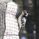 Vuoden linnun voi tavata myös Pälkäneellä ja Kangasalla – pienin tikkamme on vain peipon kokoinen