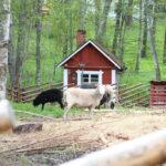 """""""Saako silittää?"""" – kanoja, pupuja, laamoja, lampaita ja hevosia odottelee ruokintaa ja rapsutusta eri puolilla Pälkänettä ja Kangasalaa"""