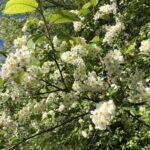 Kangasalan kesänavaus järjestetään toistamiseen verkossa – kesän avaa puhemies Anu Vehviläinen