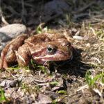 Kuuman kesän jälkeen eliöstökin nauttii viilennyksestä – sammakkolampi sykkii elämää