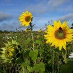 Maisemapelto ilahduttaa taas kukinnallaan – poimintaa kohtuudella ja samoja polkuja pitkin