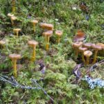 Sieniretken aikaan – suppilovahveron paras satokausi on nyt